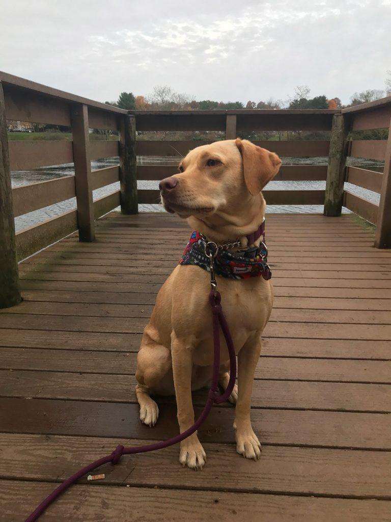 Asha on her morning walk with sugar skull Snug Pups scarf.
