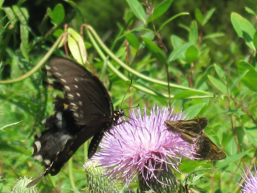 Black butterfly sitting on a purple flower with greenery behind it